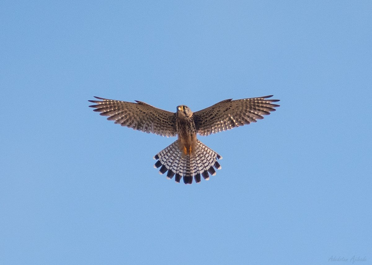 I'll spread my wings and I'll learn how to fly I'll do what it takes 'til I touch the sky 🎶  Eurasian Kestrel  #birds #birdwatching #birdphotography #nature