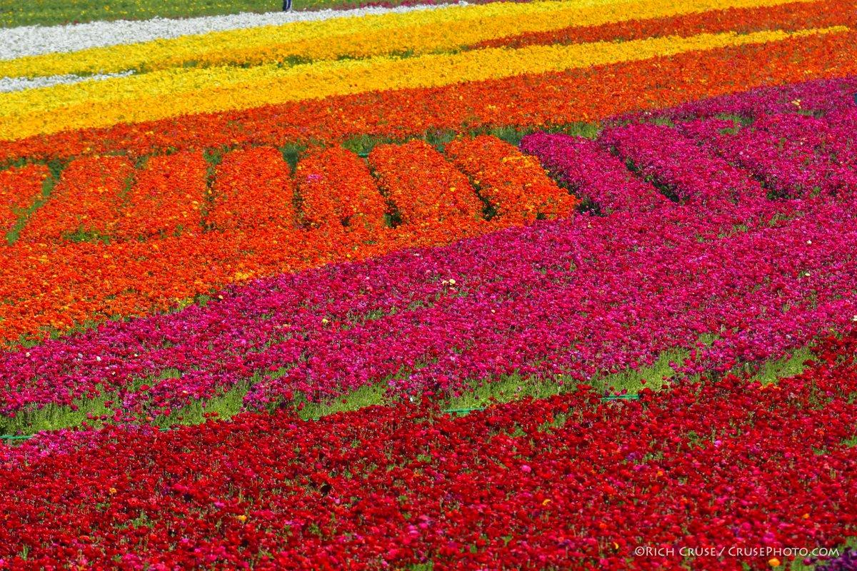 #TheFlowerFields @VisitCarlsbad @visitsandiego @VisitCA #Flowers #SpringIsComing #VisitSD #VisitCalifornia @TheFlowerFields