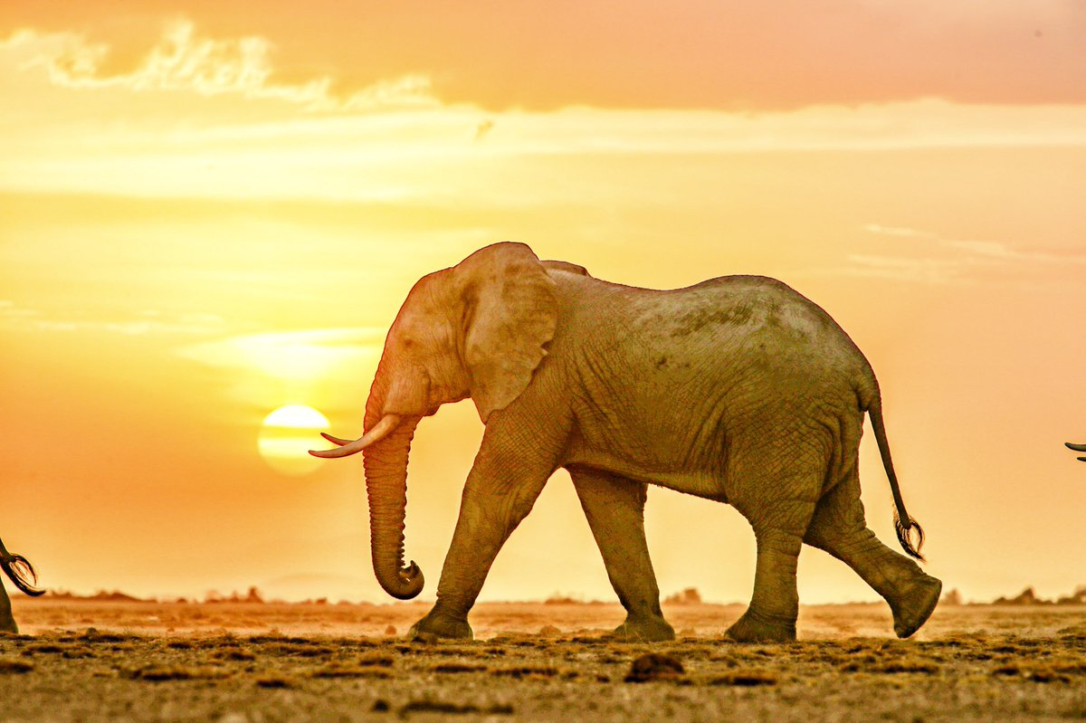 At the right time of the year, for photographers, individuals or a herd of elephants silhouetted against the setting sun, is crown of a the trip to Amboseli.  Welcome to the land of the gentle giants! #nature #naturephotography #sunset  #travel #photooftheday #amboseli #elephant