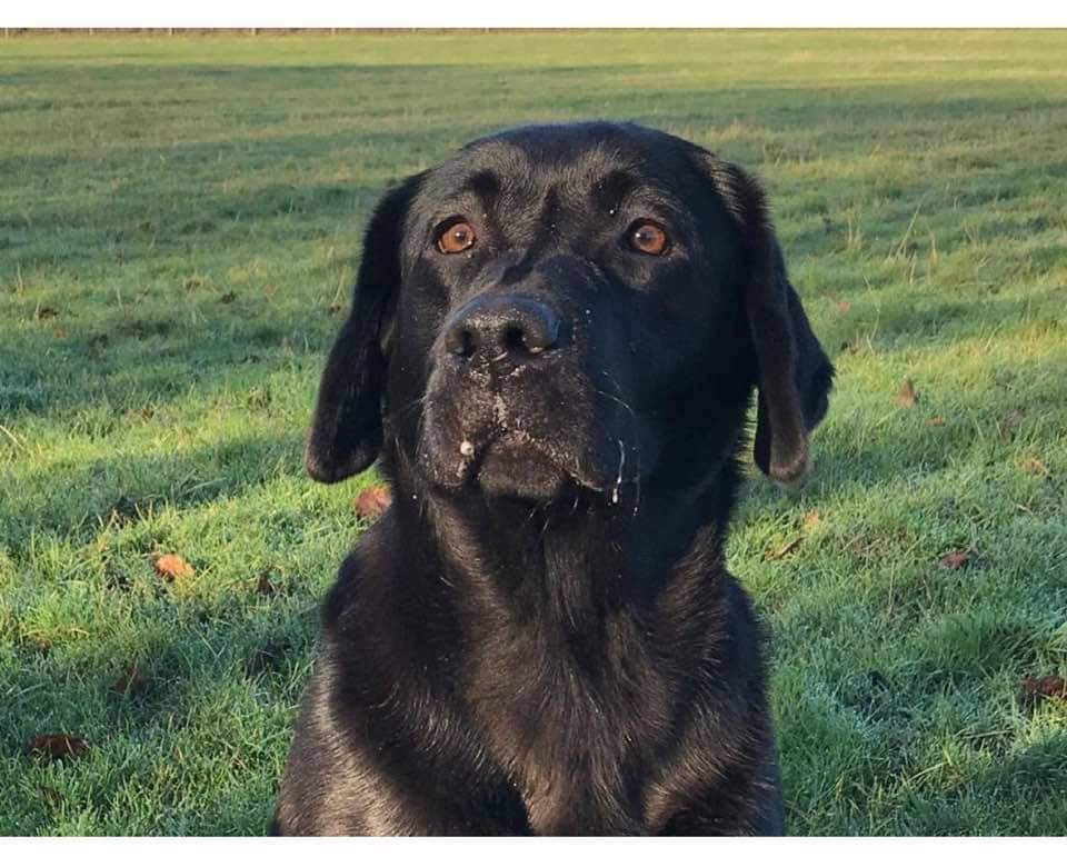 UTTERLY BEREFT at having #Labrador STOLEN  #Leicestershire  LE7 #FindPurdey HAS YOUR NEIGHBOUR GOT A NEW DOG? disinctive hair ridge on nose!  Please RT and call with info