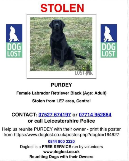 ‼️Distraught owner ‼️ needs her #Labrador home ⚠️stolen⚠️ Leicestershire LE7 😭😭😭 Distinctive hair ridge on nose. NO QUESTIONS ASKED pls call #FindPurdey