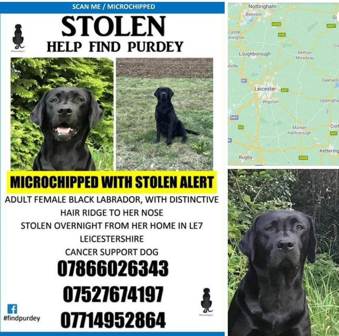 PURDEY #FindPurdey  Female #Labrador #Retriever Adult black She has a distinct ridge running down her face Microchipped  #Missing 19 Feb 2021 #Stolen from kennels Just outside #Billesdon #Leicestershire LE7  doglost.co.uk/dog-blog.php?d…