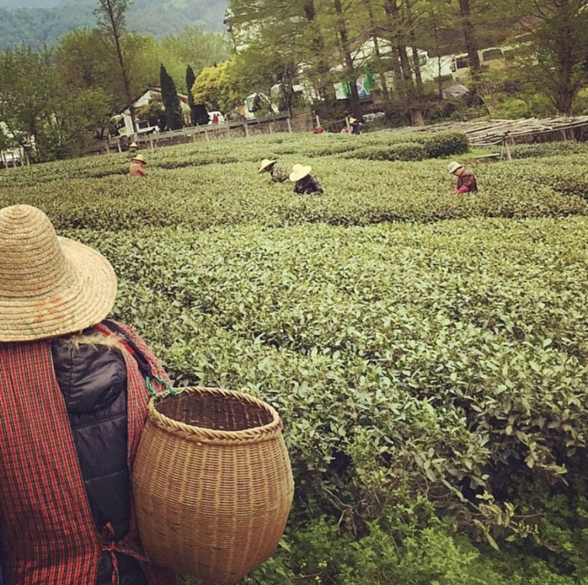 Productive Monday? Longjing tea picking season requires it to be produced from the first spring shoots of the 1st week of April each year. The production cycle is very short, usually ten days...    #china #hangzhou #tea #mondaythoughts #travel #viaja
