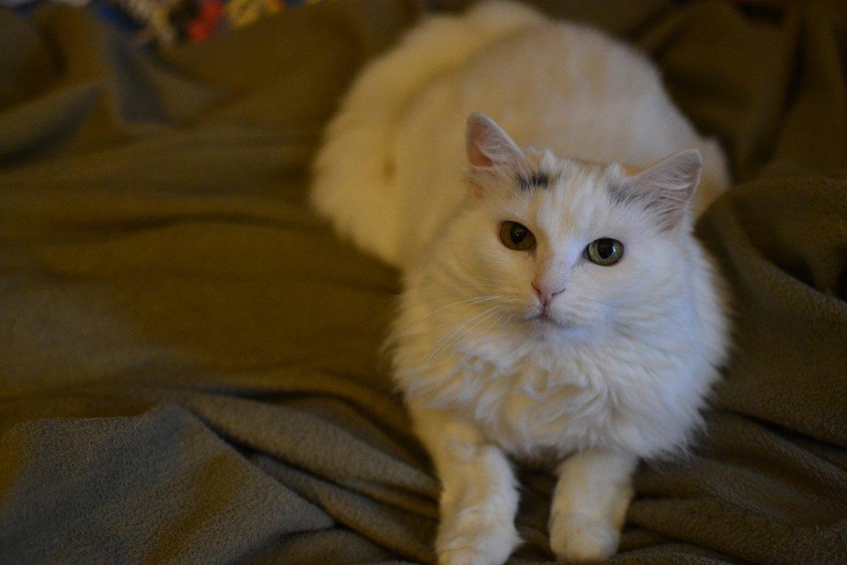 Clover demands cuddles. 😻 Guess I better oblige.  #AuthorPets #AuthorLife #Cat #CatLife #WhiteCat #CatsOfInstagram #CatLover