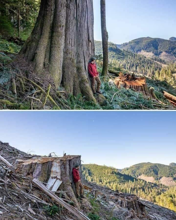 We can't replace Trees that are Thousands of Years old. The World is not dying, We are Killing it. AFA Campaigner & Photographer TJ Watt surveys old-growth before and after clearcutting by Teal-Jones in the Caycuse watershed. 🌳Save Tree🌍Save World🌳 #beautiful #photography
