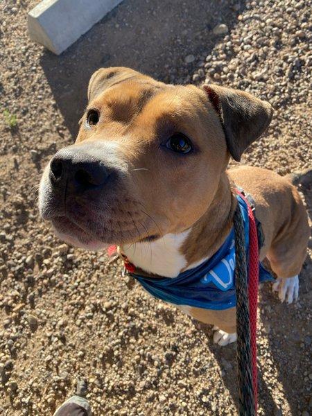 Adoptable #Dog #Dexter_PIMAAZ_02 Dexter has the best ears!