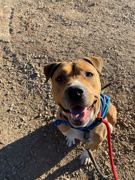 Adoptable #Dog #Dexter_PIMAAZ_02 Doesn't he have a great smile?
