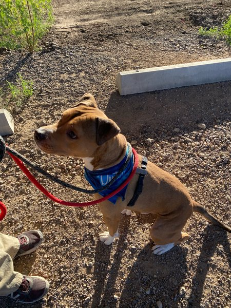 Adoptable #Dog #Dexter_PIMAAZ_02 He has gone through clicker training and is very attentive to it!