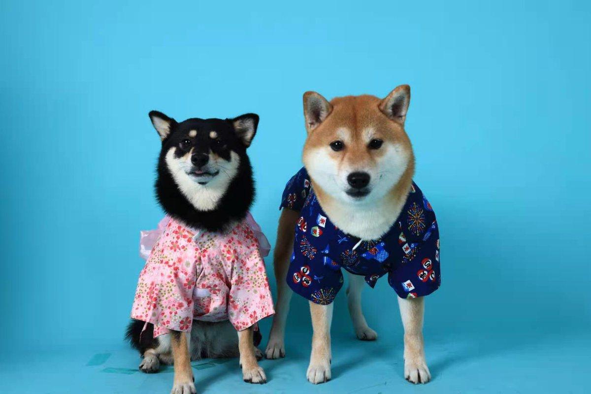 #柴ちゃん 結婚しますよう💒 #ペットショップ #ペットは家族 #柴犬 #dog