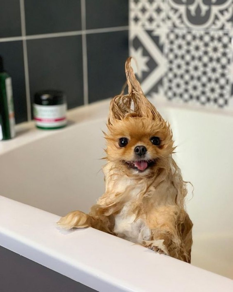 Shower time 🛁 #Dog #Mammal #Canidae #Dogbreed #Pomeranian #Puppy #Companiondog #Carnivore #Chihuahua #Snout dogyourlife