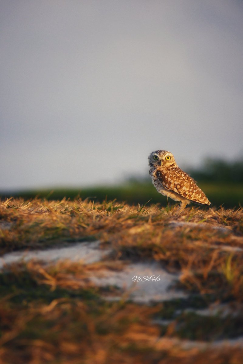 The Aruban Burrowing Owl. This small, buffy-colored owl is unmistakable because of its large, round yellow eyes, prominent whitish eyebrows and unusually long grey legs. #birdwatching #owl #aruba #islandlife #photooftheday #ThePhotoHour @LensAreLive #sunset