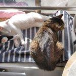 Image for the Tweet beginning: 141日目 サビと白と仲間たちの関係 「日向ぼっこにゃ」  みんな気持ち良さそうだね😊💕 #白猫 #しろいねこ #子猫 #whitecat #サビ猫