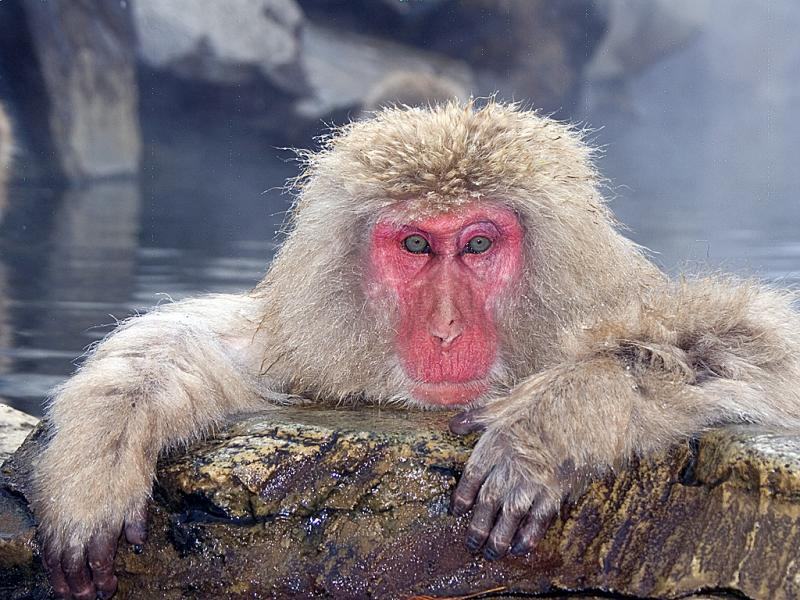 And on behalf of all the Snow Monkeys in Japan , I would just like to say ........ ........... .......... ... !  ( you all know that Snow Monkeys can not speak ! Right ?? ) #SnowMonkey #VisitJapanAU #Winter #PublicSpeaking #Monkeys #KenOsetroff #TravelPhotography #IsMyFaceRed