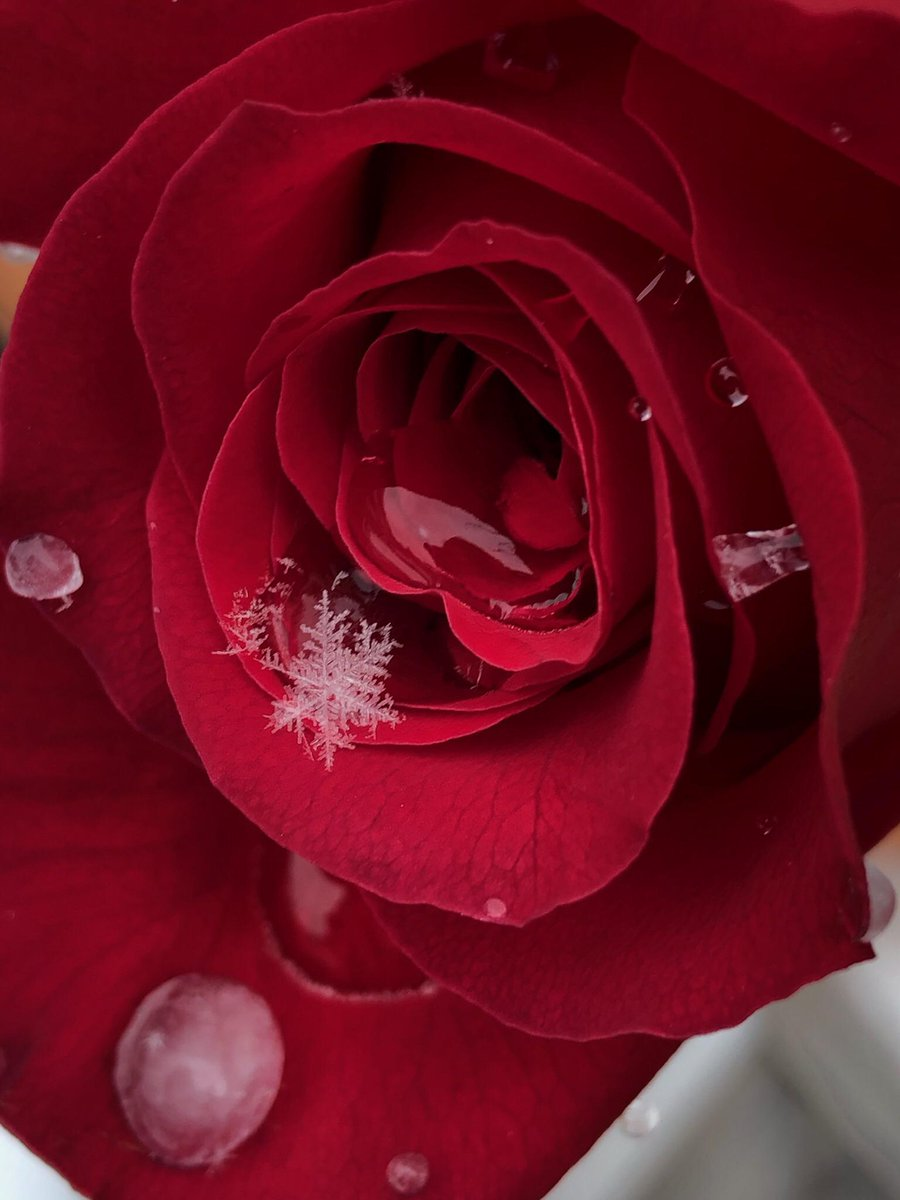 Snowflake on a rose. From u/nora_rose_valkyrie on Reddit #snowflake #rose #winter