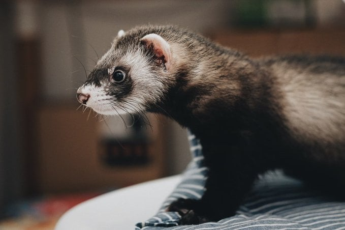 With Schools and Colleges set to return from next week, it's important the Guidance on preventative measures regarding SARS-CoV-2 and ferrets in the UK is shared. https://t.co/YDK77QbZfX https://t.co/rU7u82wxy8 #animalcarecolleges #AgricultureCollege #ferrets https://t.co/2xeSxRaSJG