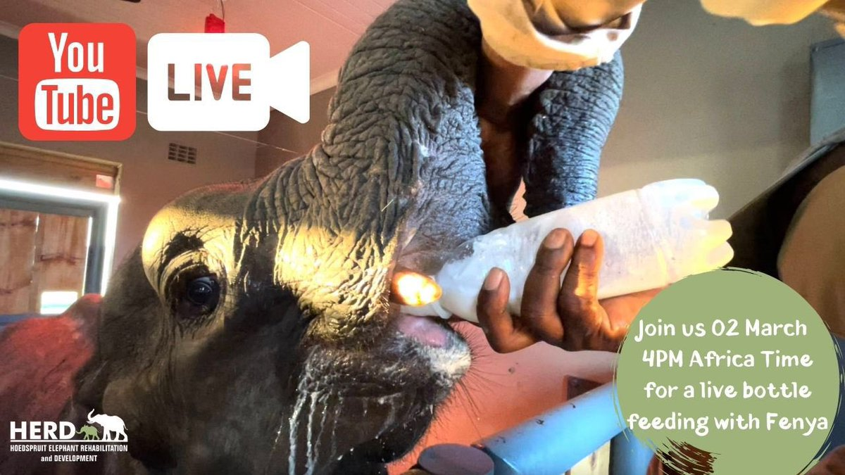 Hello HERD Friends! 🐘❤️   Join us today as we go live on YouTube for a Fenya bottle feeding, for a special glimpse into orphanage life with our team.  We will broadcast from our YouTube Channel at 4 PM CAT (AFRICA TIME) 🍼   See you soon!  #FenyaHERD