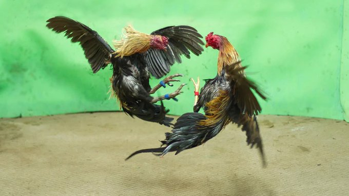 Rooster kills man during banned cockfight: cops Photo