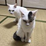 Image for the Tweet beginning: 朝が弱い猫たち🐱  #猫 #cat #ねこ #白猫 #ねこすたぐらむ