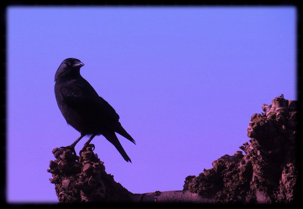 Jackdaw  #naturephotography #animalphotography #canon #sunday #birdwatching #outdoor #enjoyingeverymoment