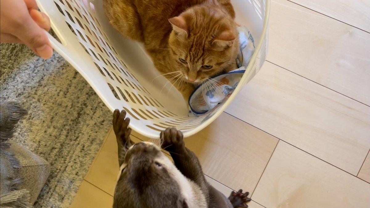 助けようとするカワウソと別に求めてない猫