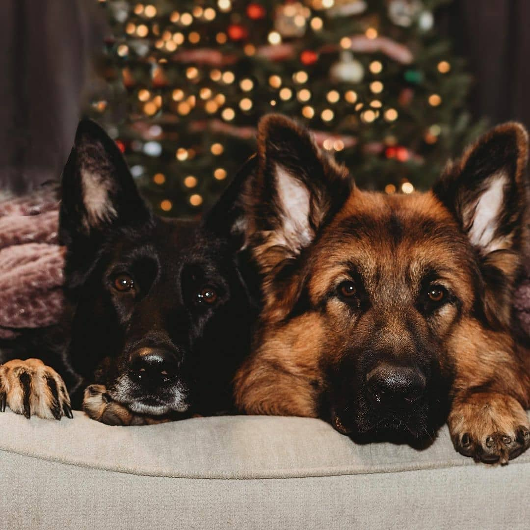 Patiently waiting for santypaws. 😇  Follow @GsdLoverss for more❤️  #germanshepherd #dogsoftwitter #K9 #gsd #dogs #cutedog #puppy #Dog