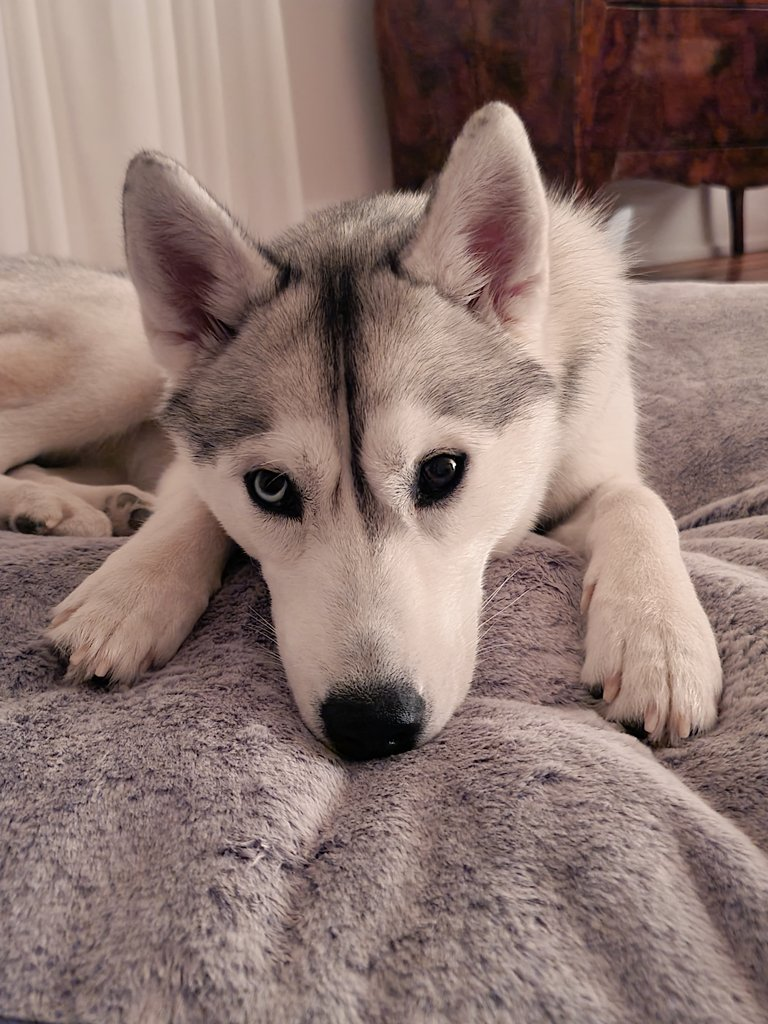 Oh, hey there. Just being fussy about my new pillow. Not sure whether or not to sleep on it yet. 🙃  #goodmorning #husky #dogs #dogsoftwitter #cute