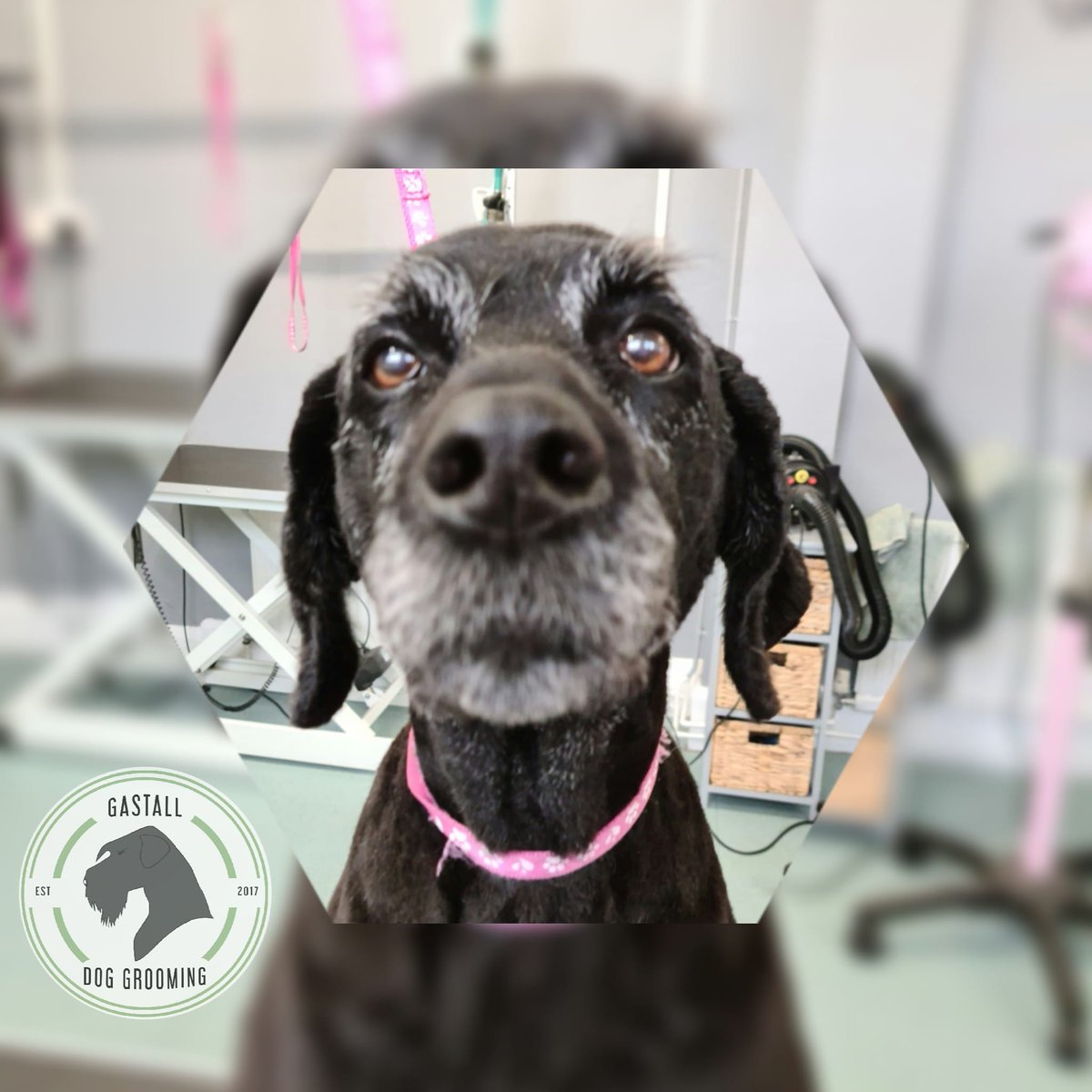 Lovely Luna... she's a nose ahead of the rest 💜#gastalldoggrooming  #labradoodle #supportinglocalbusiness #doggrooming #leicestershiregroomer #kegworthvillage  #doggroomersnearme #dogfriendly #doggroomer #gastall #dogs #cutedogs #dogspa #smallbusinessowner  #thehomeofthehound