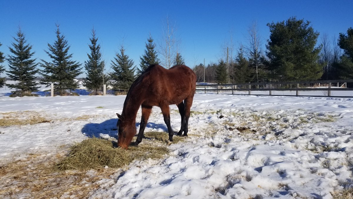 Our rescue horse enjoying an afternoon snack! #nevernotlearning #lifeismyschool #Freeschoolin #unschooling #homeschooling #rescue #horse #winter #snow  #hay