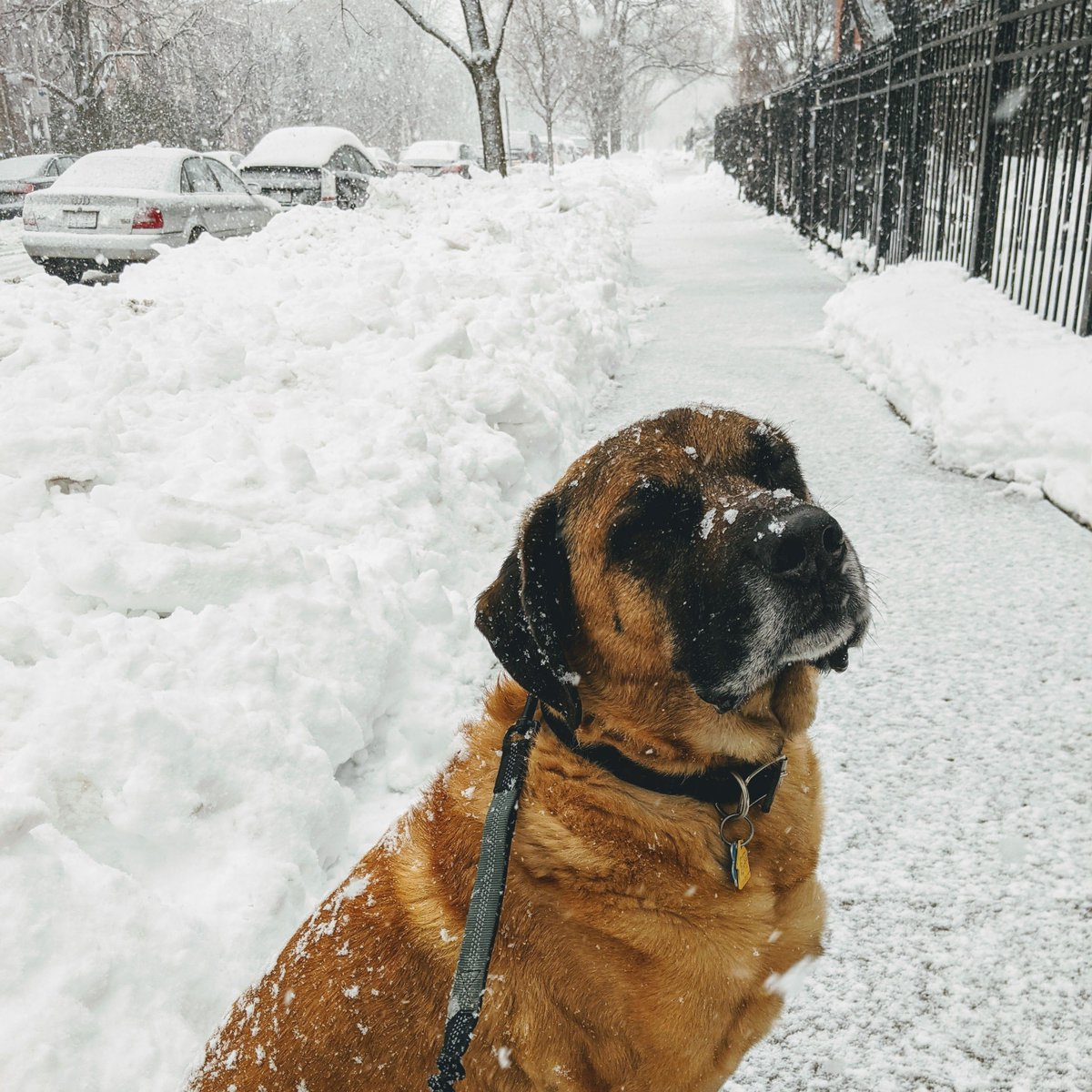 In tune with mother nature ❄️   #SparkySteps #Chicago #dog #pets #doggo #puppy #DogoftheDay #photooftheday #dogsofchicago #bestwoof #lifewithdogs #boop #dailyfluff #doglover #dogsarefamily #chicagodog #dogsoftwitter #Mastiff #mixedbreed #winter #snow