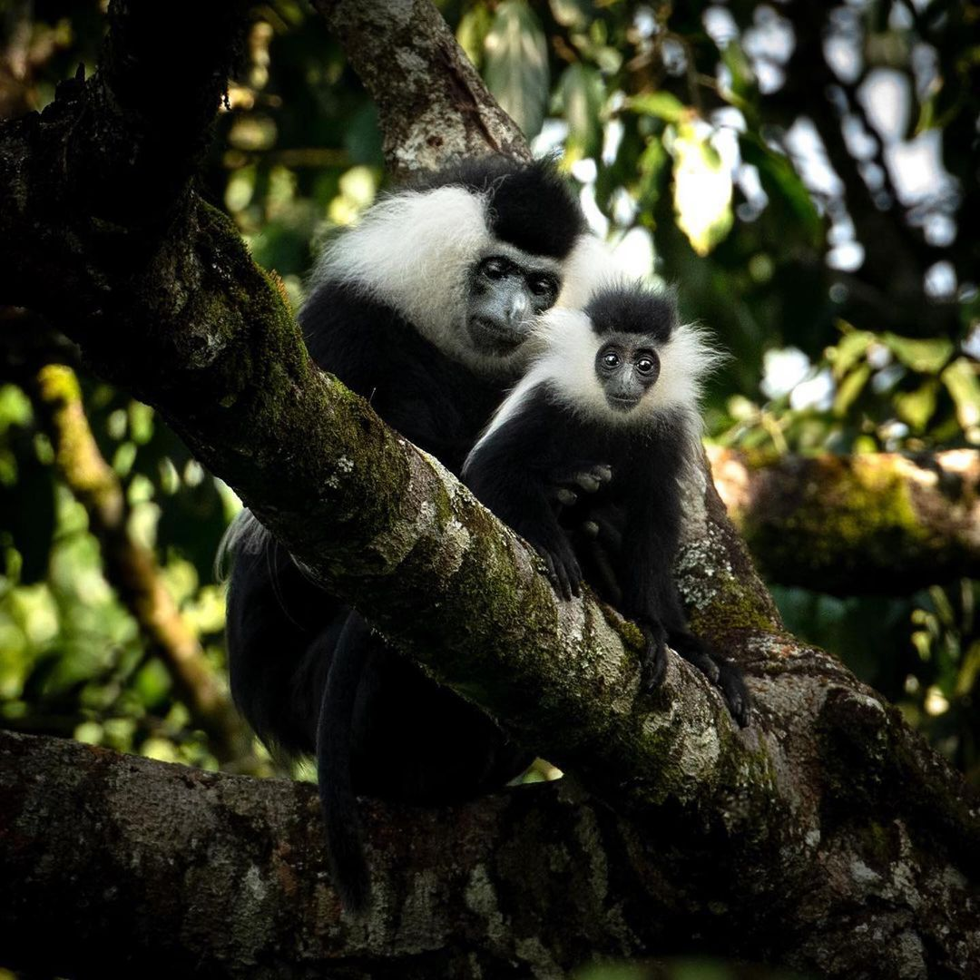 Do you think the Colobus monkeys are easy to find in Nyungwe National Park?  #RwOT  #rwanda #nyungwe