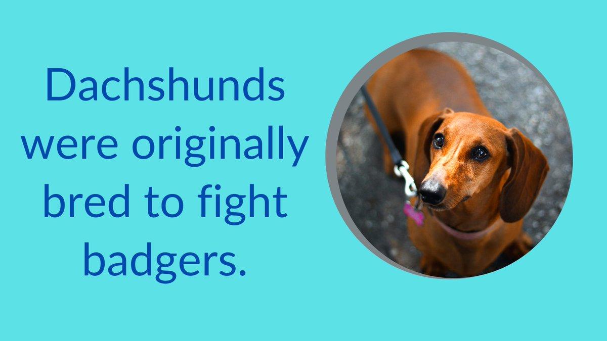 Dachshunds were originally bred to fight badgers.  #dogs #dogsoftwitter #DogLover #dogsarethebest #dogsarelove #dogsarefamiliy #Puppies #puppylove #dachshund #tuesdaymotivations #tuesdayvibe