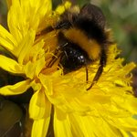 Spring is on its way and the Bees have started to come out. Dandelions are one of the Bees first foods so always worth thinking of them as a flower and not a weed #spring #Bees #forestschools