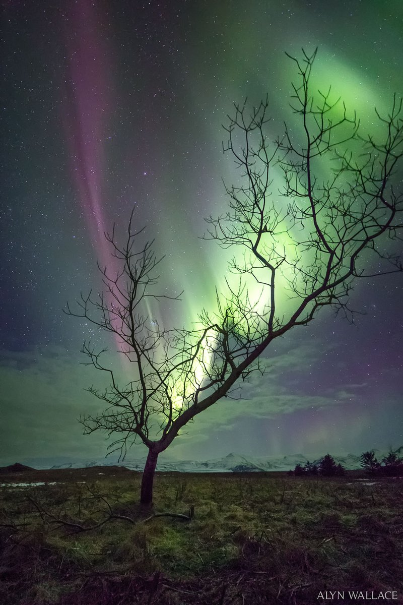The Aurora Tree   Image Credit & Copyright  Alyn Wallace