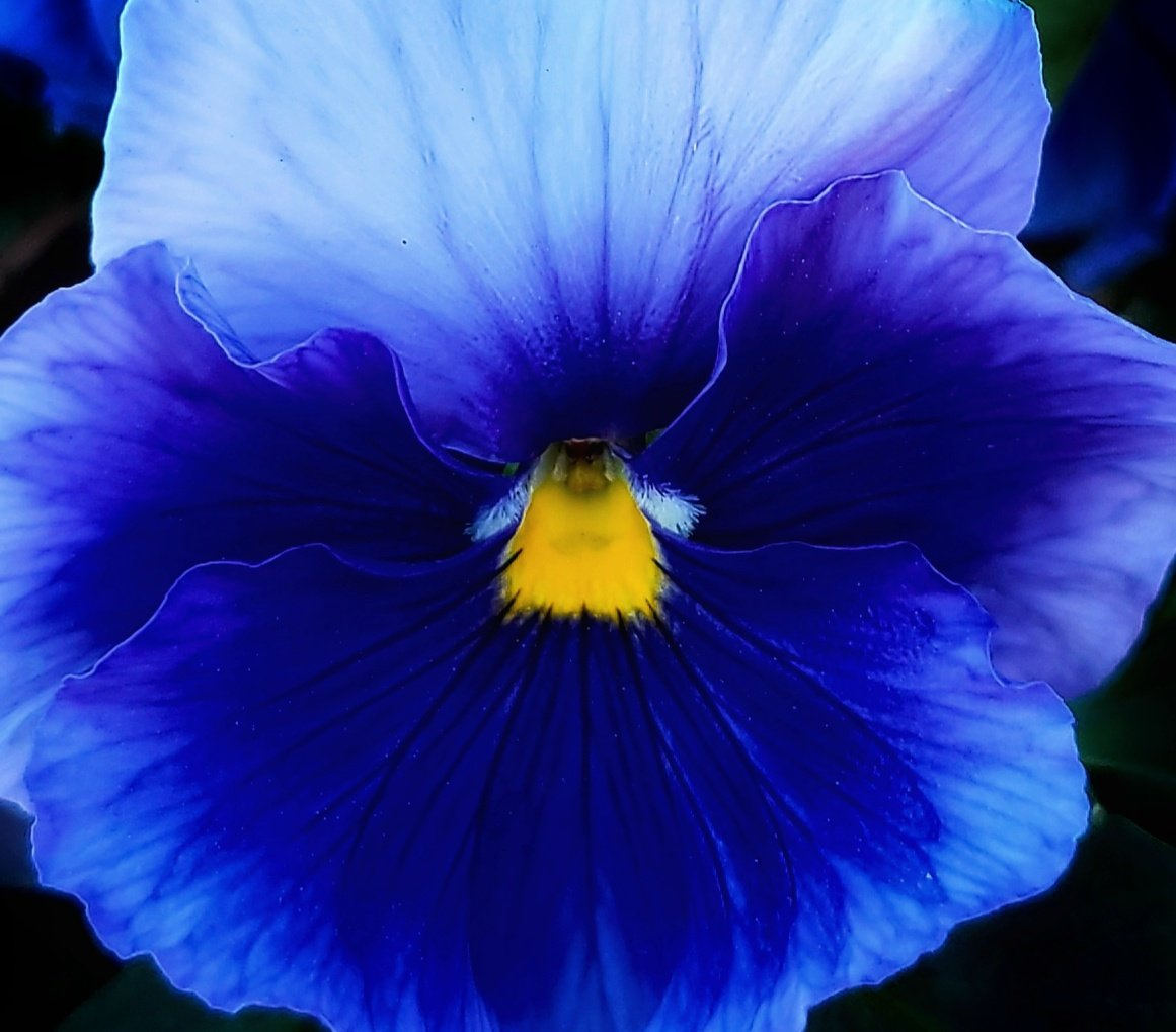 Tuesday blues.  #photography #flower #flowers #nature #naturephotography #garden #gardens #macro #macrophotography #blue