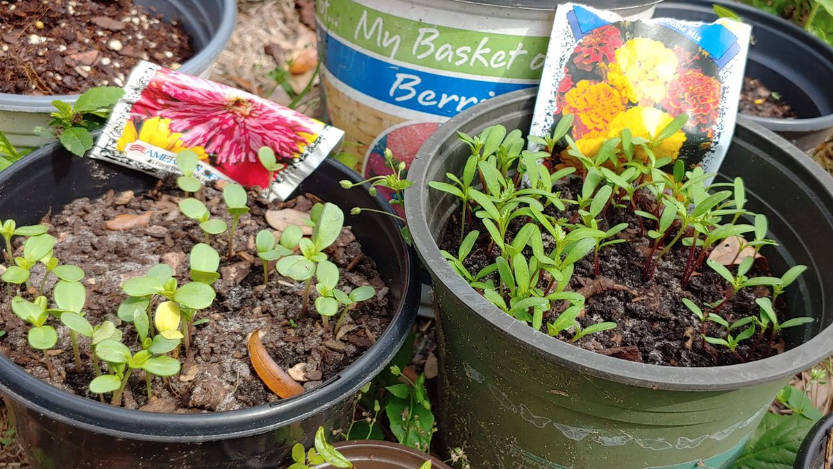 Everything is sprouting!!  Flower bed will be beautiful!  Zinnias & Marigolds  #seeds #flowers #garden #landscaping #countrylife #marigold #zinnia #country #Florida #spring #passion #gardentherapy