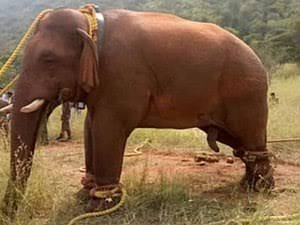 @srinivasanoffl @CMOTamilnadu @narendramodi @PMOIndia This is Slavery! This is Barbaric! Elephants are an endangered species! On #WorldWildlifeDay show the world India has a genuine commitment to preserving wildlife and #ReleaseShankar #InYourHandsIndia