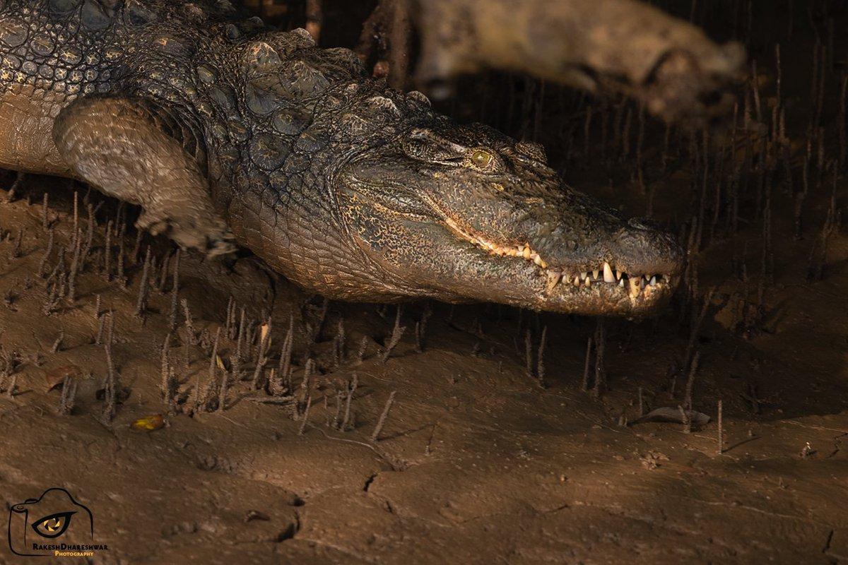 #MuggerCrocodile is an endangered species. It was basking in the sun & started sliding down to the water when it saw us #Goa #IndiWild #WorldWildlifeDay #IndiAves #NaturePhotography #ThePhotoHour #PhotoOfTheDay #BBCWildlifePOTD #TwitterNatureCommunity @ParveenKaswan @Avibase