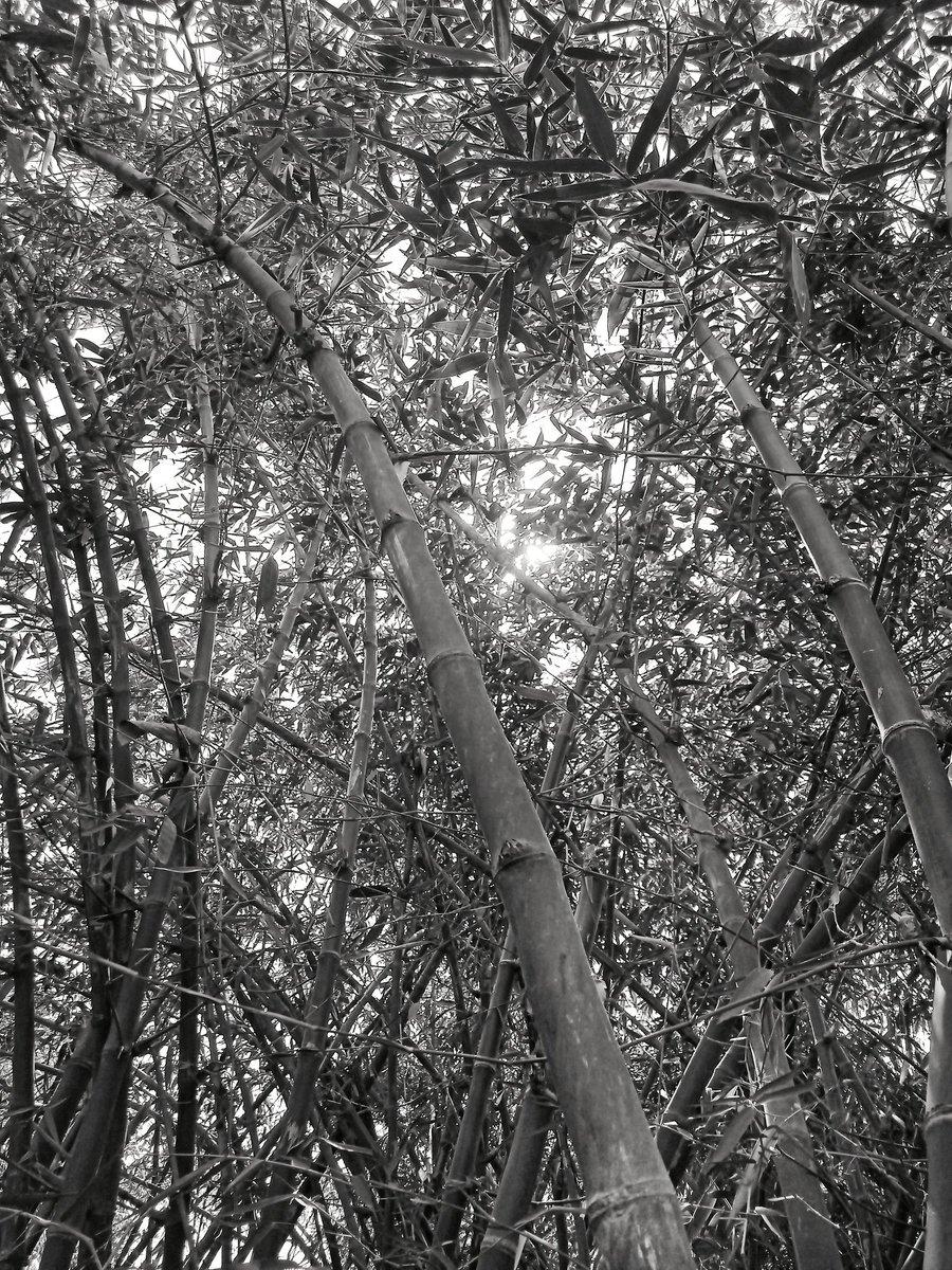 Bamboo plant ❣️Nature is full of beauty❣️ #nature #travel #photography #naturephotography #photooftheday #love #beautiful #instagood #picoftheday #adventure #landscape #travelphotography #art #summer #sunset  #wanderlust #beach #travelgram #hiking  #outdoors #naturelovers #photo