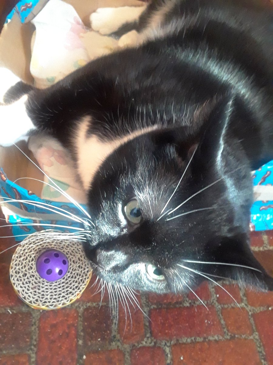 """Toots: """"I grabbed a toy and gravitated over to this sunny area so as to better show off my whiskers today!""""😸  """"Happy #WhiskersWednesday to evfurryone!""""  #tuxie #Toots #funfact #CatsOfTwitter #sunnyspot #wednesdaythought #love #BeKindtoAll #pets #animals #AdoptDontShop"""
