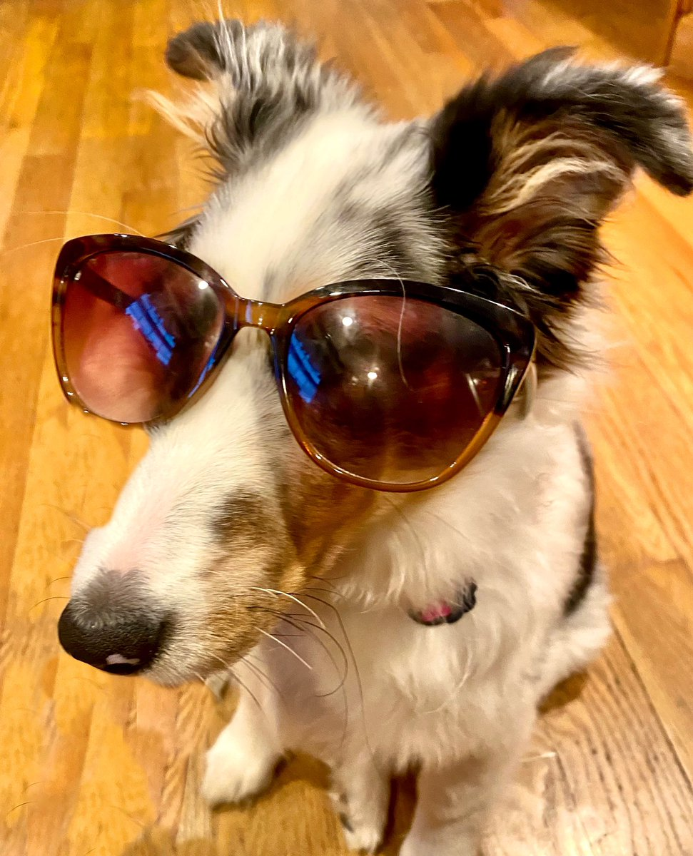 Good morning my dahhlings! It may be snowing (again) outside, but inside I'm sharing my inner #glam So show me, how do you glam?         #GoodMorningTwitterWorld #dog #DogsofTwittter #dogsofinstagram #sheltie #puppy #cute #picoftheday