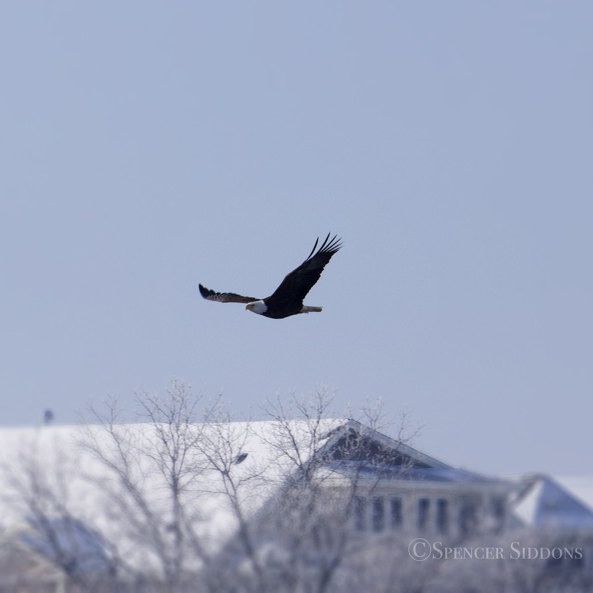 Bald eagles were out in force this winter. Especially in West Lafayette where at times there would be ~15 in sight along the Wabash River. Their ability to tolerate major habitat destruction/pollution (+ the recovery efforts of humans) is astonishing. #birds #WorldWildlifeDay