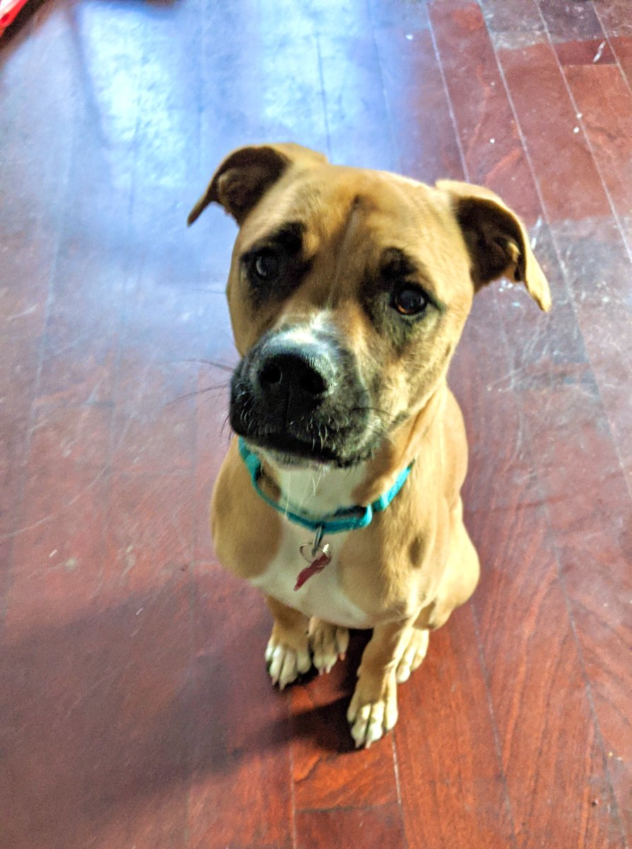 Dr. Roxie here has a PhD in sitting! Her dissertation was on being a good girl and she invented belly rubs. Not bad for a 10 month old! If you're interested in melding minds with this 10 month old Boxer mix, check her out on ! 🔬⚛️⚗️ #adoptdontshop #cute