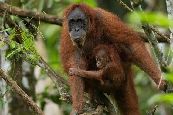 Happy #WorldWildlifeDay folks!  The wildlife I choose to focus on is the #orangutan.   In protecting them you protect their habitat, and so a myriad other species. Plus their rainforests are good for us too!  Please donate to @OrangutansSOS if you can: