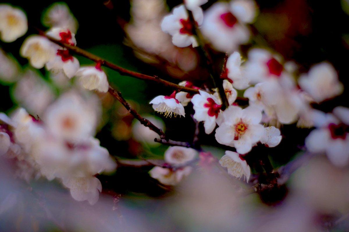 春香る夜を…  #photography #flowers #spring #白梅