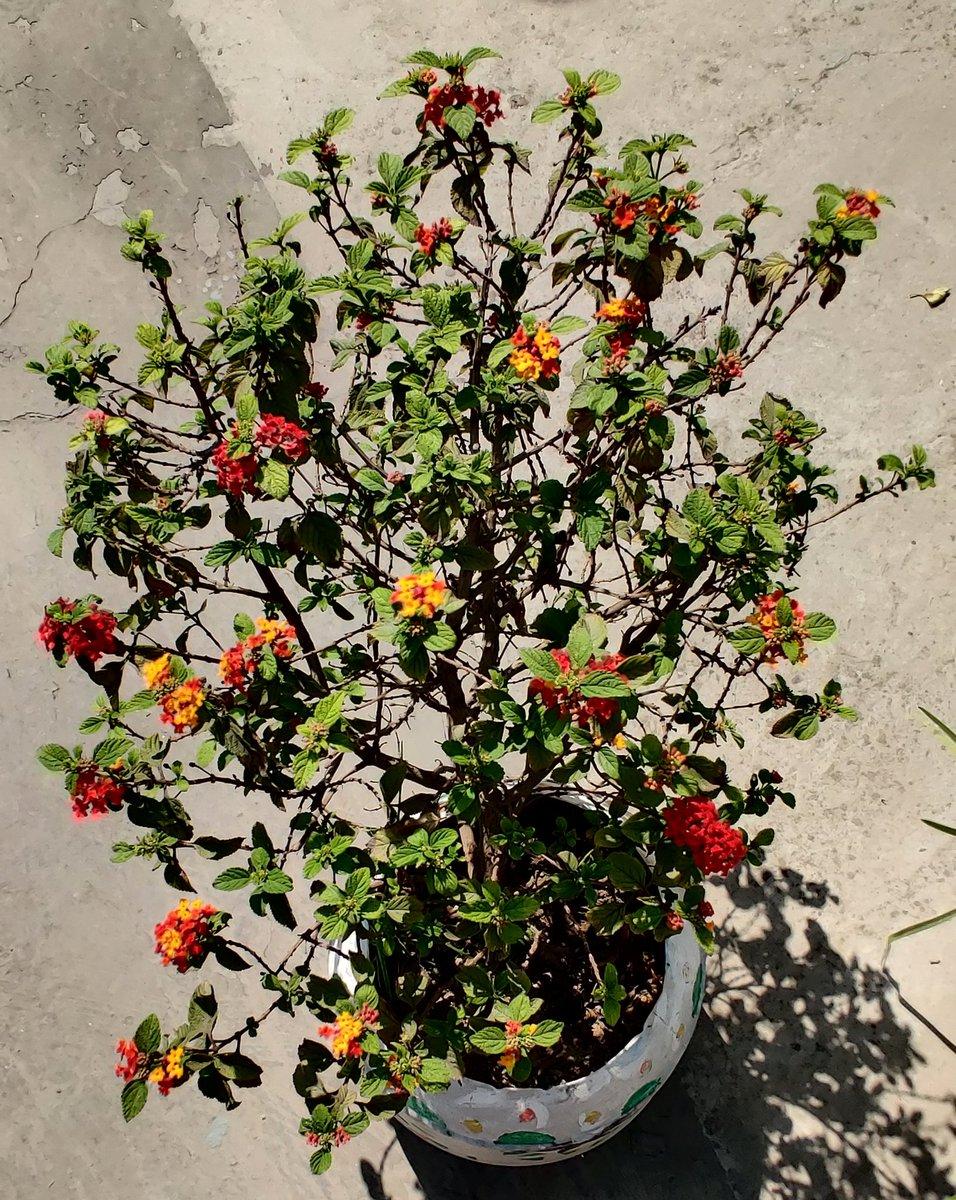 Lantana plant started blooming again 😍😍 #gardening  #flowers