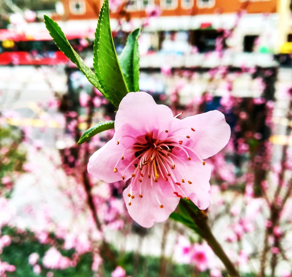 Dentro del hospital hay un invierno triste y a la salida una bonita primavera ... . .  #naturaleza #pics #foto #flowers #pink #goodmorning #flowerphotography #flowers #buenosdias  #bonjour  #fotografia #photography #flores   #green  #artphoto #verde #white #life #whiteflowers