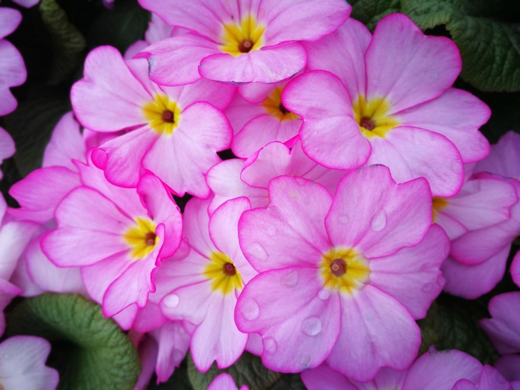 Pink primroses - variety Woodland Delight  #flowers #flowerphotography #photography