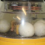 Three ducklings have now graced Broomfield with their presence.  Mrs Cunningham has placed two in the bigger enclosure while the third is drying off in the incubator, hugging and quacking at the other eggs to encourage them to hatch.