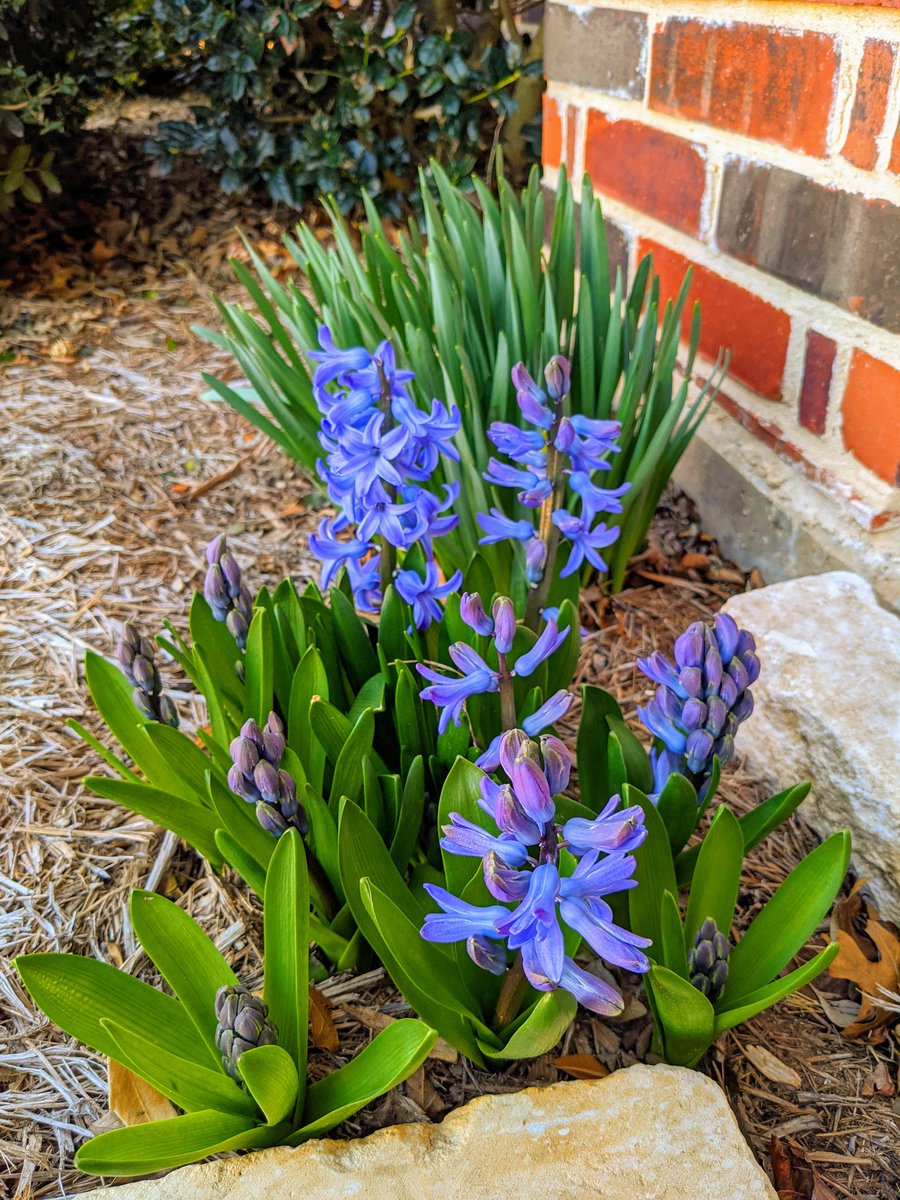 The bulbs are blooming in North Texas! 🌷  #FlowerReport #flowers #NaturePhotography #nature #SpringTime