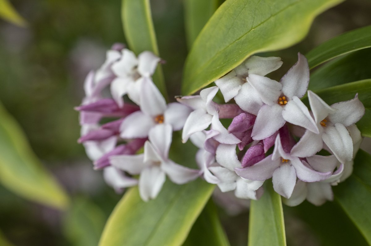This richly fragrant Daphne 'Spring Beauty' is in flower at the entrance to the Alpine Yard @TheBotanics right now #flowers #outdoor #nature #Edinburgh #SpringIsComing #RBGE